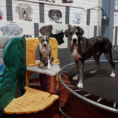 two dogs on trampoline