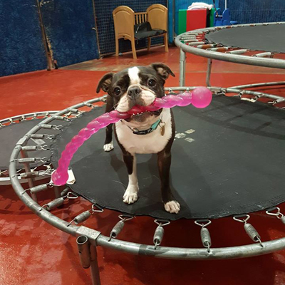 dog with toy on trampoline